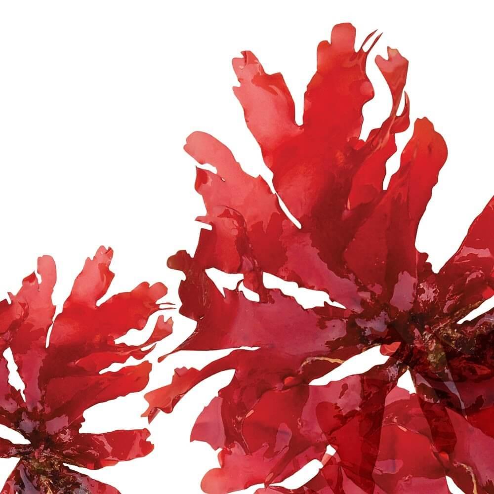 Tảo biển đỏ hỗ trợ trị nám chân sâu tại nhà