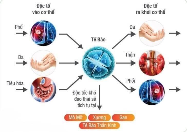 Con đường đi của độc tố qua cơ thể