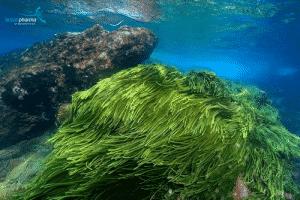 vi tảo biển sâu Spiralin®